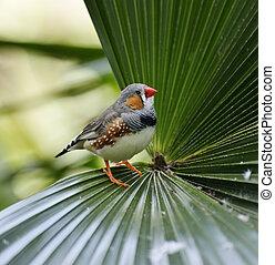 Zebra Finch Sitting On A Palm Leaf