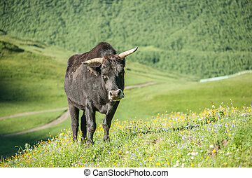 cow - black bull on green field