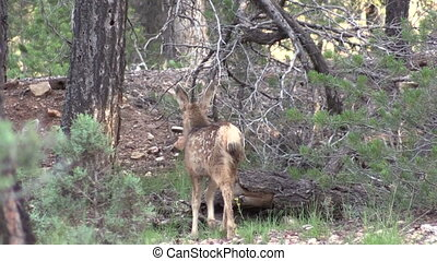 Mule Deer Fawn - a cute mule deer fawn walks through a...