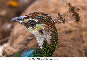 Close-up shot of a Female Peacock - Close-up shot of a...
