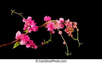 różowy, kwiat, czarnoskóry, tło, (Coral,...