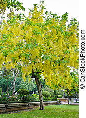 Cassia fistula or Golden Shower Tree in the park