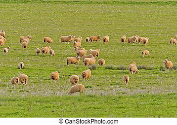 mammal - ewes and lambs grazing in a lush grass pasture