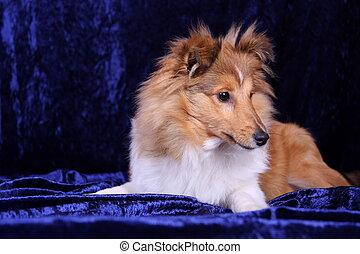 Shetland Sheepdog Portrait - young shetland seheepdog lay...