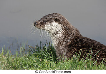 Otter, Lutra lutra, Sussex, spring