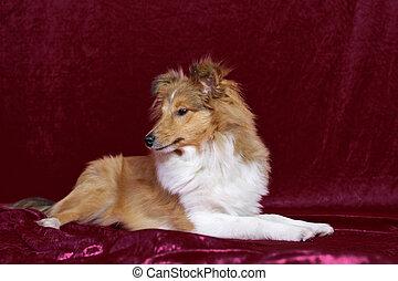 Shetland Sheepdog look side - young shetland sheepdog lay...