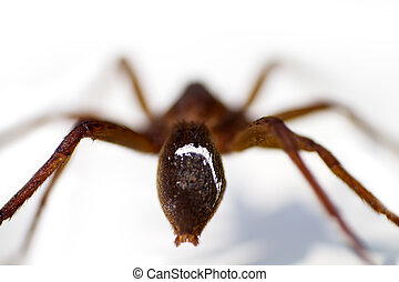 Closeup of water spider  white background