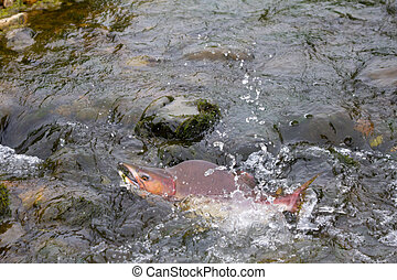 humpback salmon going on spawning