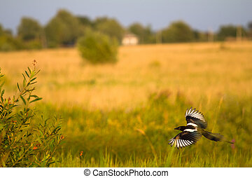 magpie in flight Pica pica - magpie in flight on a meadow