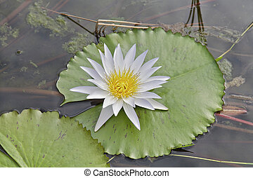 Lilly Flower - Lilly pad and Flower in a Pond