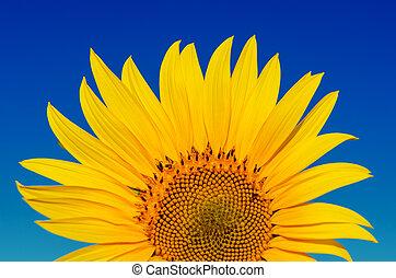 藍色, 黃金, 向日葵, 天空, 深, 在下面