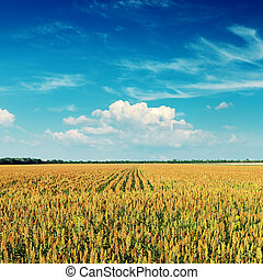 agriculture field and deep blue sky on sunset