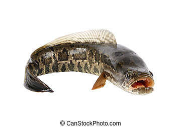 ferocious snakehead - snakehead is a ferocious fish isolated...