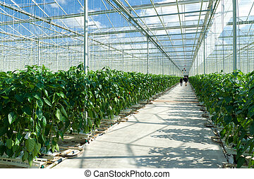 commercial greenhouse - cultivation of bell peppers in a...