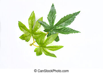 weed leafs on a white background