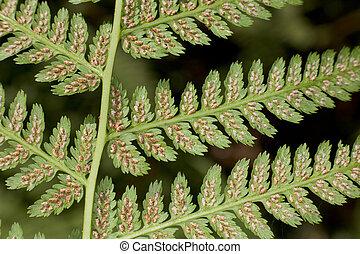 Leaf of a fern