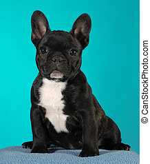 french bulldog puppy 3 months old sitting - brindle