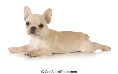 french bulldog puppy laying down looking at viewer isolated...