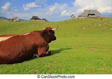 Resting cow, Velika planina, Slovenija - Resting cow, Velika...