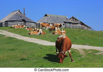 Cow eating grass, Velika planina, Slovenia - Cow eating...