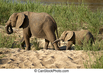 Elephants - African Elephants in the Kruger National Park,...