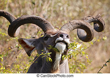 Kudu bull eating in the Kruger National Park, South Africa