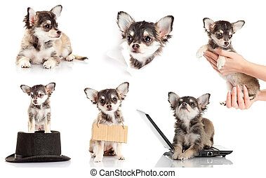 set of Chihuahua puppy. Cute purebred chihuahua in front of...