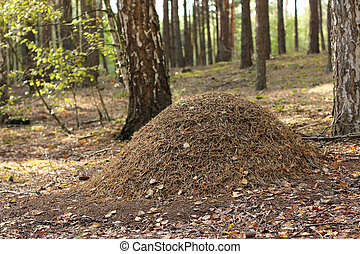 anthill - Large anthill in the wood