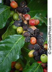 Coffee beans grow wild on a coffee plant - Close up of a...