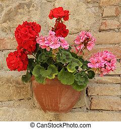 rosa, rojo, geranio, flores, olla, pared