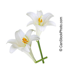 Easter Lily - Fresh Easter Lily flowers isolated on white...