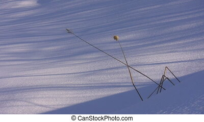 Snow, long shadows and bent grass - Lonely grass bents...