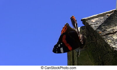 Butterfly defecated - Red admiral Vanessa atalanta butterfly...