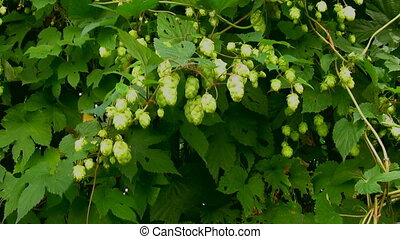 Hop cones in the wind - Hop plant fruit swaying in the wind