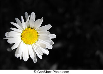 An oxeye daisy, leucanthemum vulgare, against a black and...