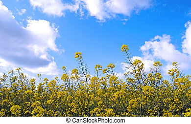 Rape field - A yellow rape field with blue sky and white...