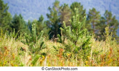 Young pines in field grass hot summer day. Shot to RAW, wide...