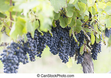 Cabernet Sauvignon grapes, almost fully ripened, wait to be...
