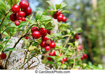 berry cranberries and moss in the forest - close-up berry...