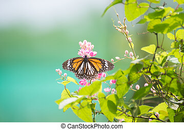 Black Veined Tiger butterfly or Danaus Melanippus hegesippus...