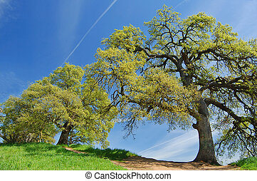 oak trees in spring - oak trees on a hillside in spring