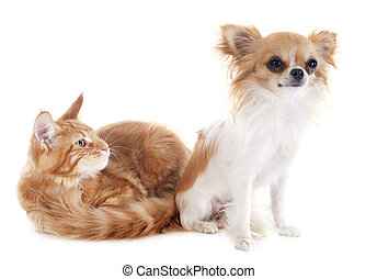 maine coon kitten and chihuahua - portrait of a purebred...