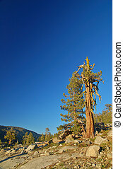 Gnarly tree - Alpine Scenery in the Northern Sierra near...