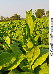 Tobacco plant in the farm, Nong Khai province, Thailand