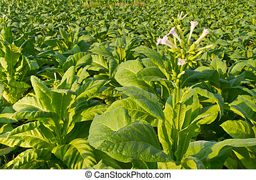 Tobacco flower in the farm, Nong Khai province, Thailand