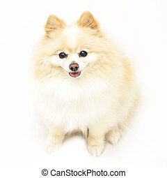 Pomeranian - An adorable Pomeranian dog is isolated on white...