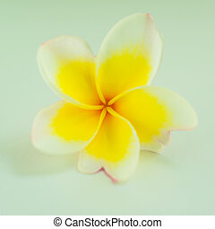 closeup of white and yellow flower - closeup of white and...