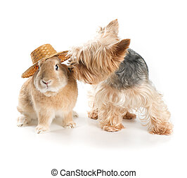 Rabbit and dog - Rabbit and Yorkshire terrier on a white...