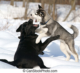dogfight - two dogs fighting in the snow