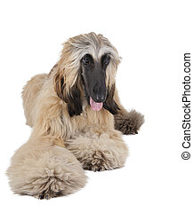Afghan Hound - afghan hound on white background